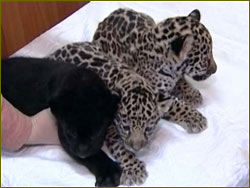 Trio of jaguar cubs